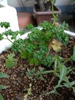 オーガニック栽培のパセリ&タビラコ