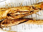 食用タンポポ根の観察